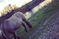 Konik paard bij de Maas